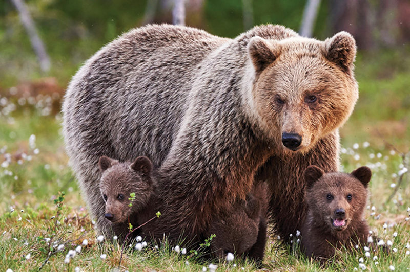 brown bear and cubs canada