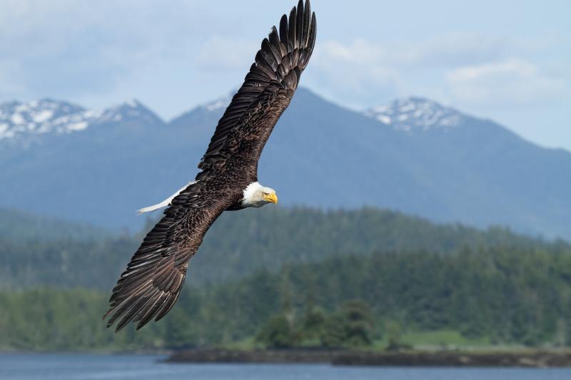Bald eagle Canada BC