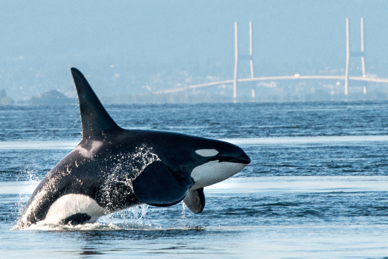 Orca in Vancouver Bay