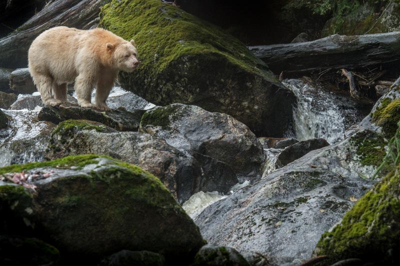 Spirit bear Canada