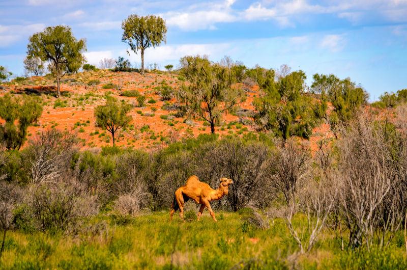 Travel Associates camel in outback australia