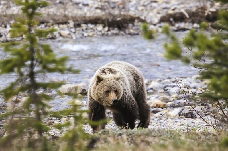 Lake Louise Grizzly Bear