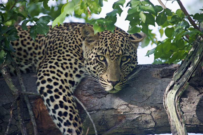 Leopard Sabi Sabi