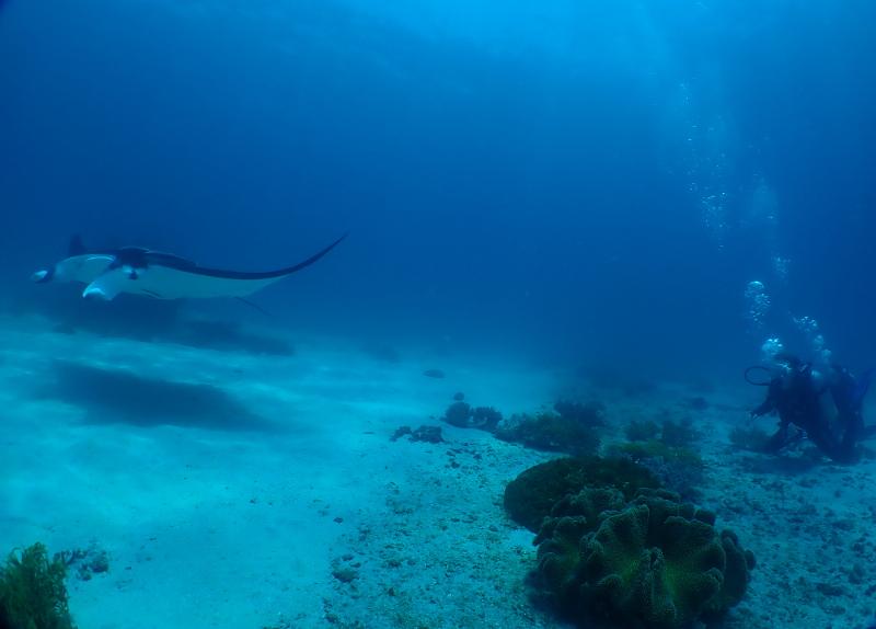 Manta Rays Papua New Guinea