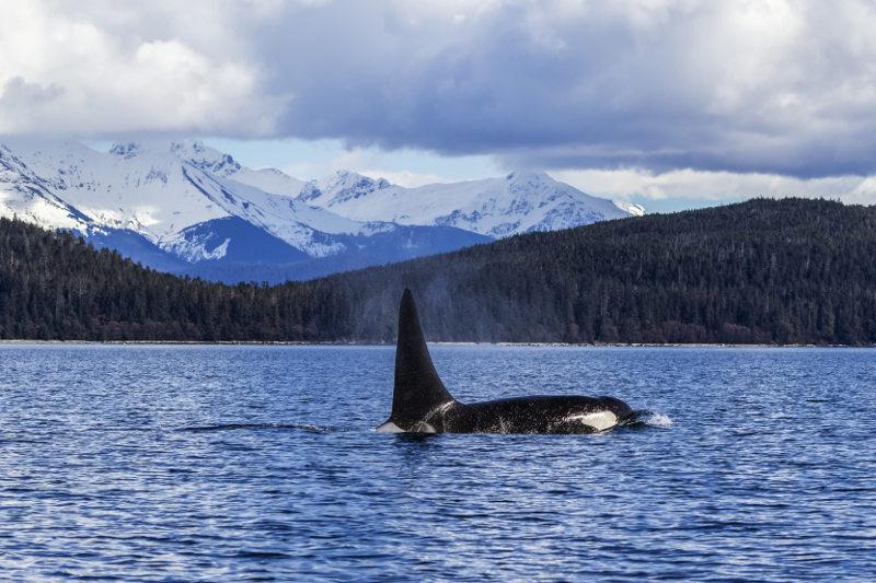 Orca in Inside Passage Alaska