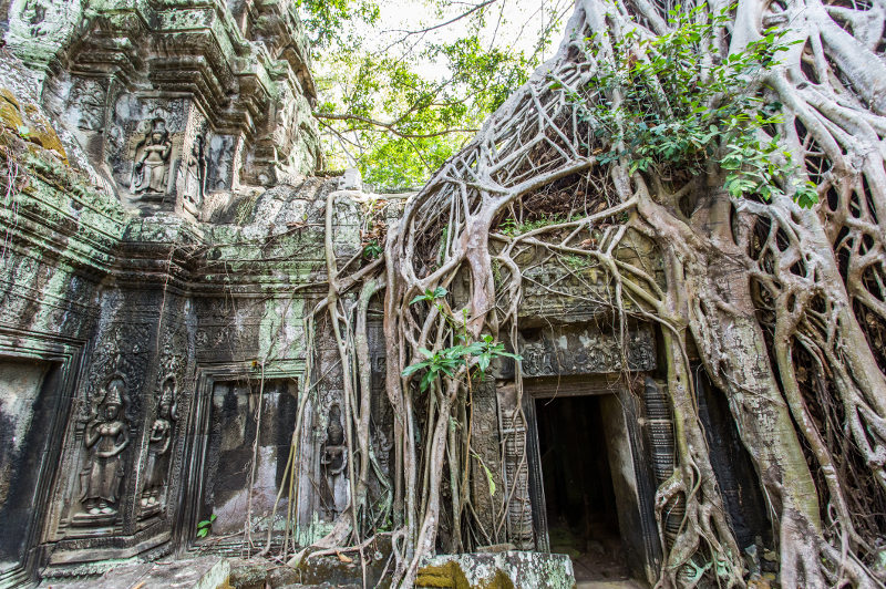The ruins of Ta Phrom temple is covered by winding tree roots