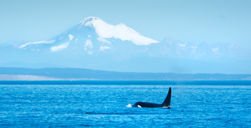 An orca breaches in the Strait of Georgia, with Mt Baker in the background