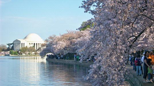 2015 Cherry Blossom Festival