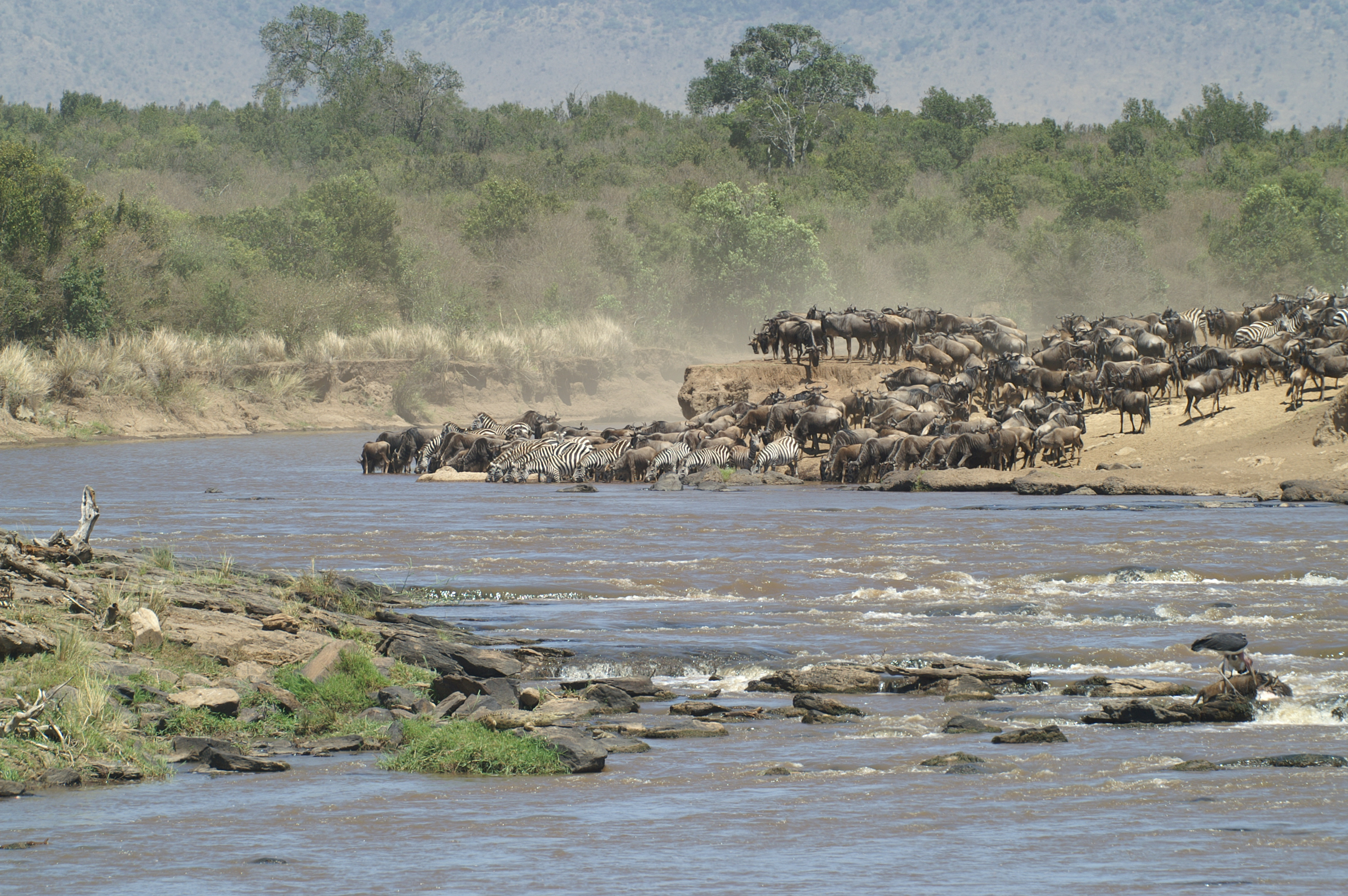 Great Migration Crosses a river