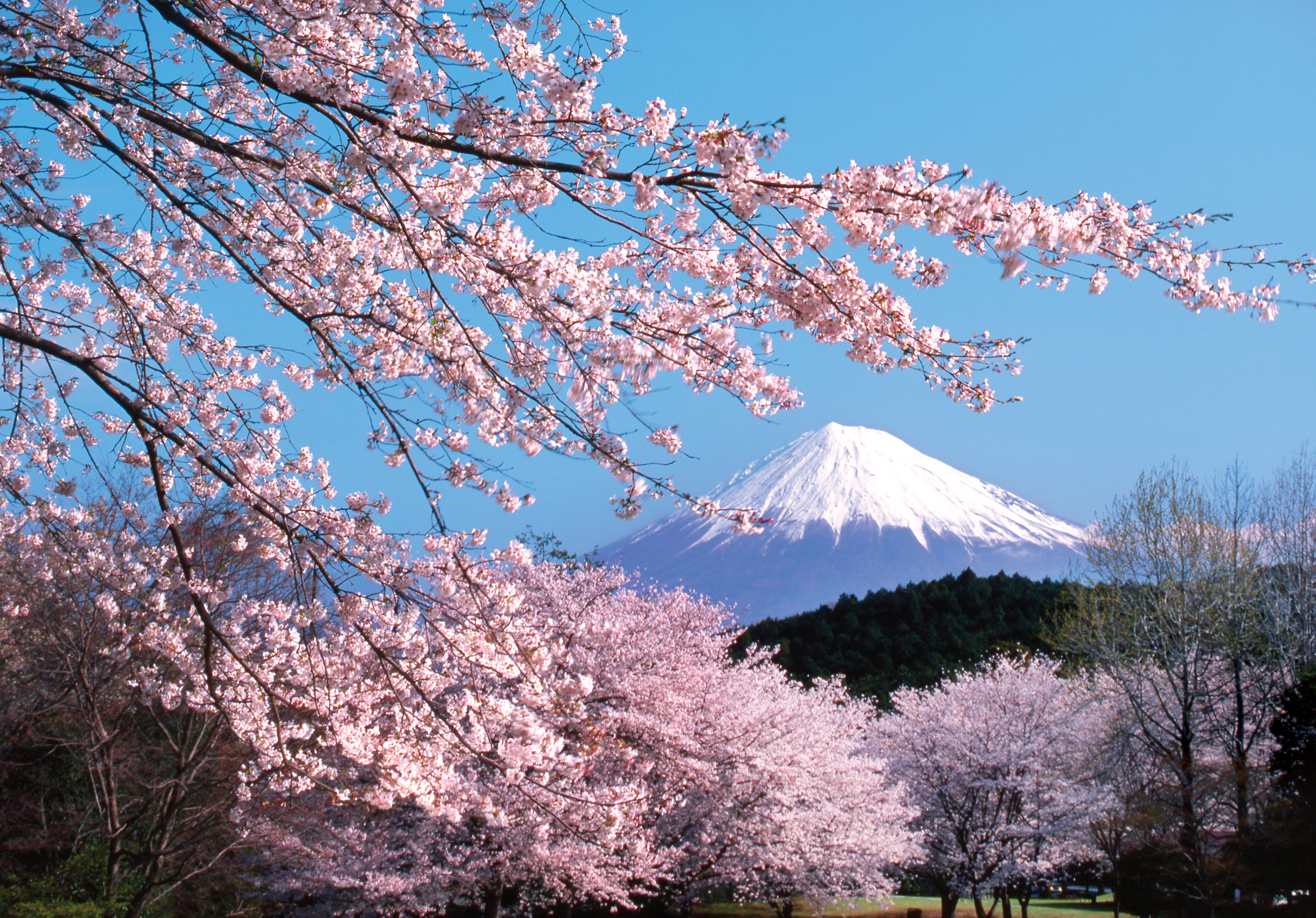 Cherry blossoms in front of Mount Fuji
