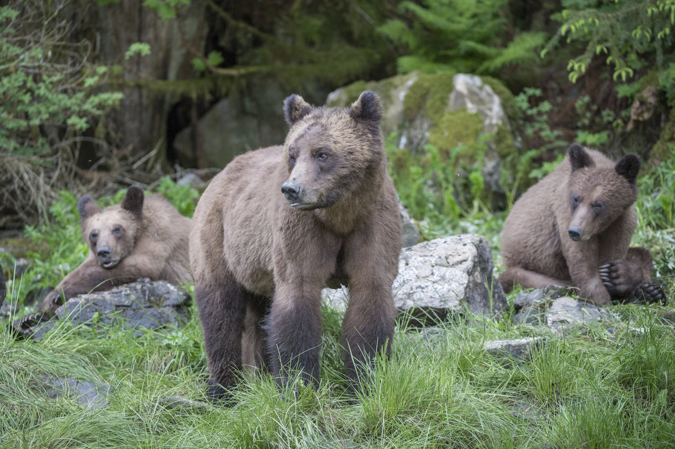 Grizzly Bear Family, Khutzeymateen - iStock_000040807220Medium