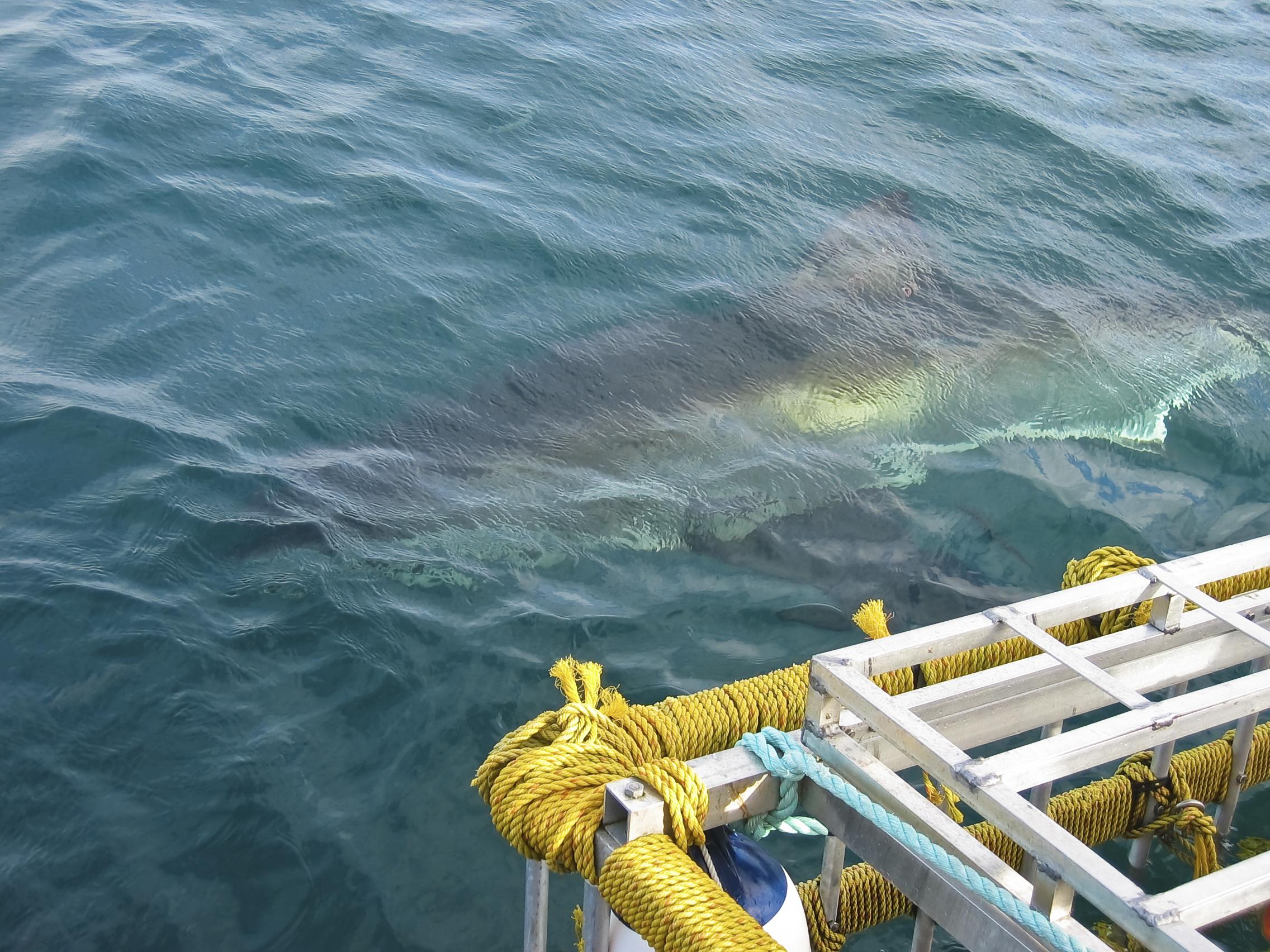 Shark Cage Diving, Cape Town - iStock_000008183551Medium