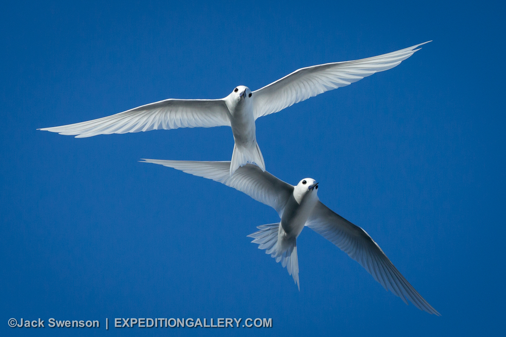 This image: White terns; seabirds that are present on many of the tropical Pacific Islands that we visit.