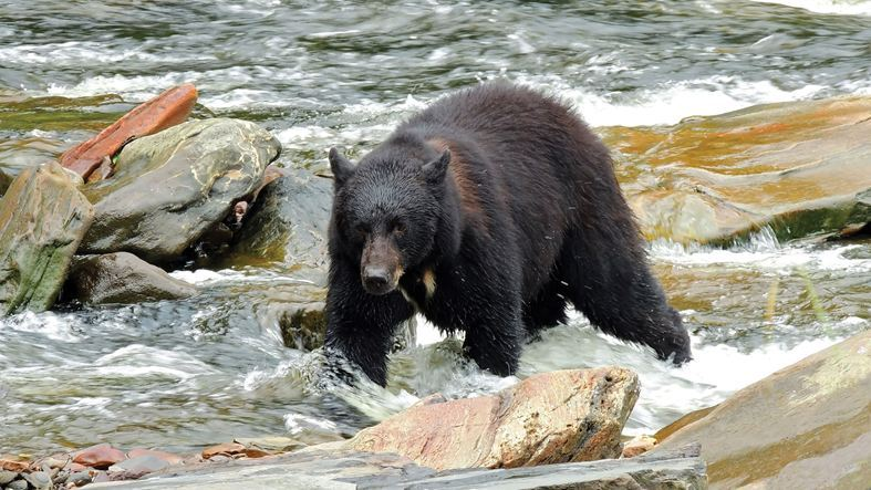 Black bear roaming in Ketchikan, Alaska