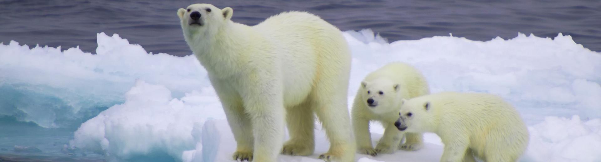 Polar bear feature