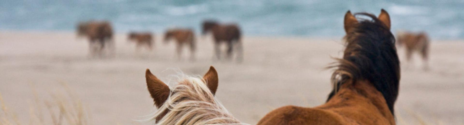 Sable horses getty
