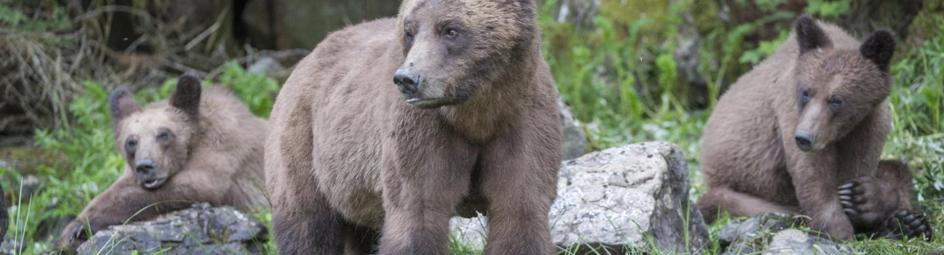 Grizzly Bear Family Khutzeymateen