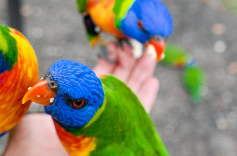 Lorikeets Queensland