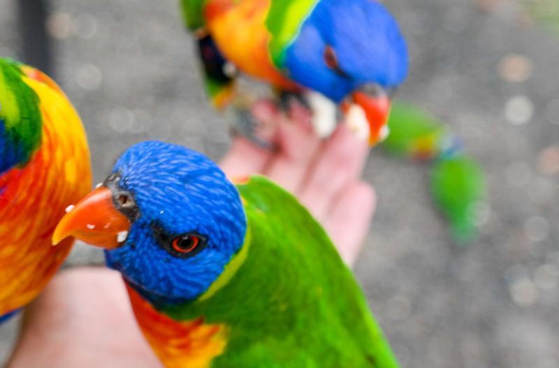 Lorikeets Queensland