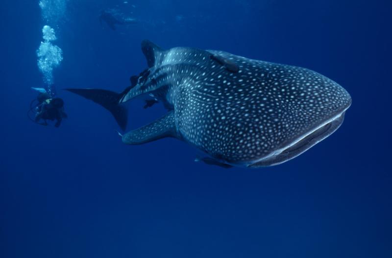 Mex whaleshark getty