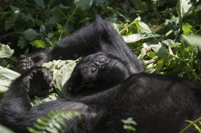 celeb gorilla
