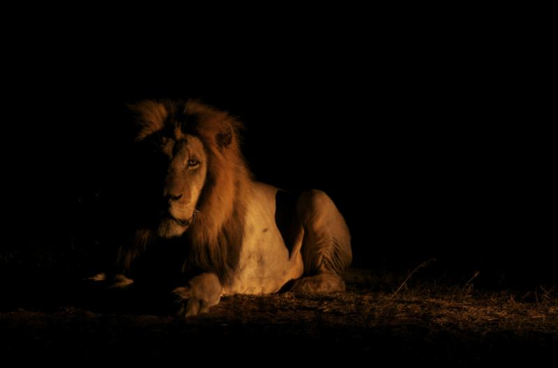 southafrica lion