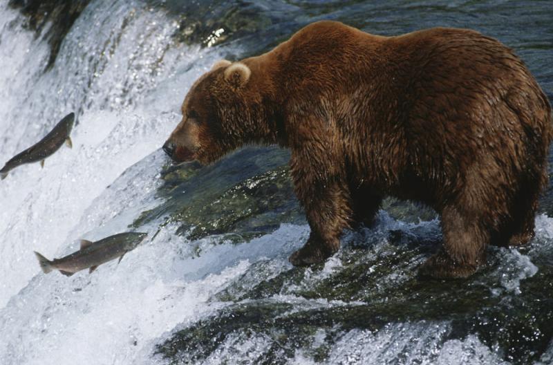 yukon grizzly