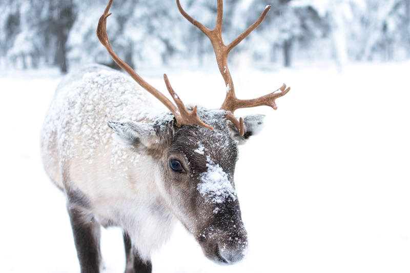 Reindeer in Lapland, Sweden