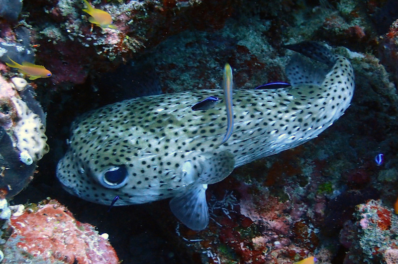 A black spotted porcupine fish CREDIT Fairmont Maldives Sirru Fen Fushi