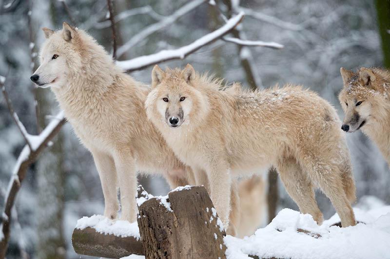 Wolves, Alaska