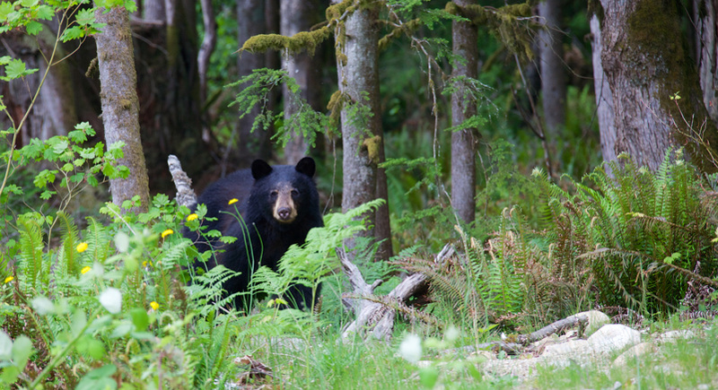 Black bear peers at camera from among grass and flowers