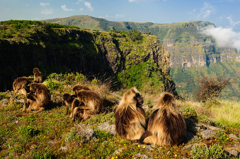 Gelada monkeys grazing at a cliff edge in Simien Mountains National Park, Ethiopia