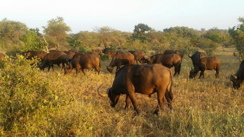 Buffalo Kambaku Reserve South Africa