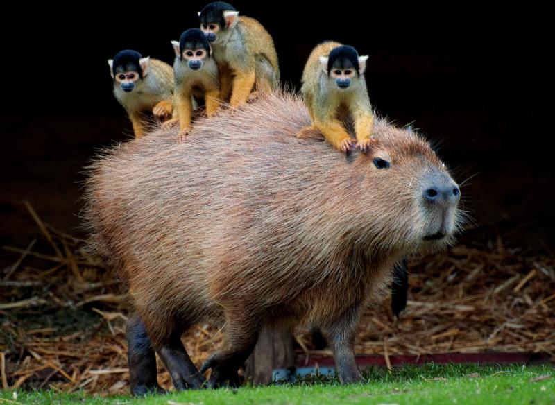 Capybara and spider monkies