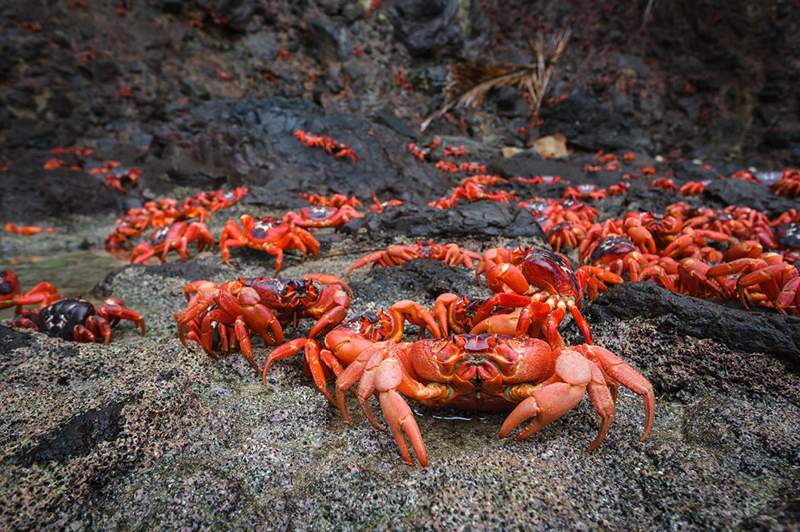 Red Crab Migration on Christmas Island (image courtesy of Kirsty Faulkner)