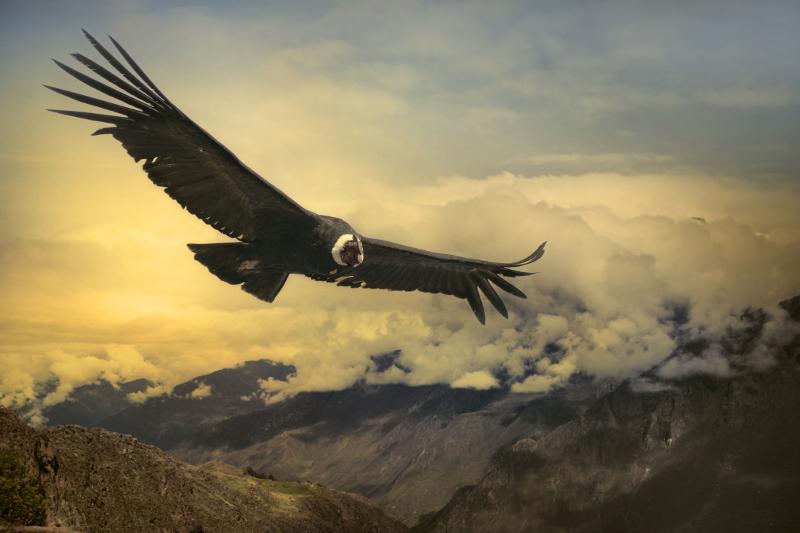Condor South American wildlife