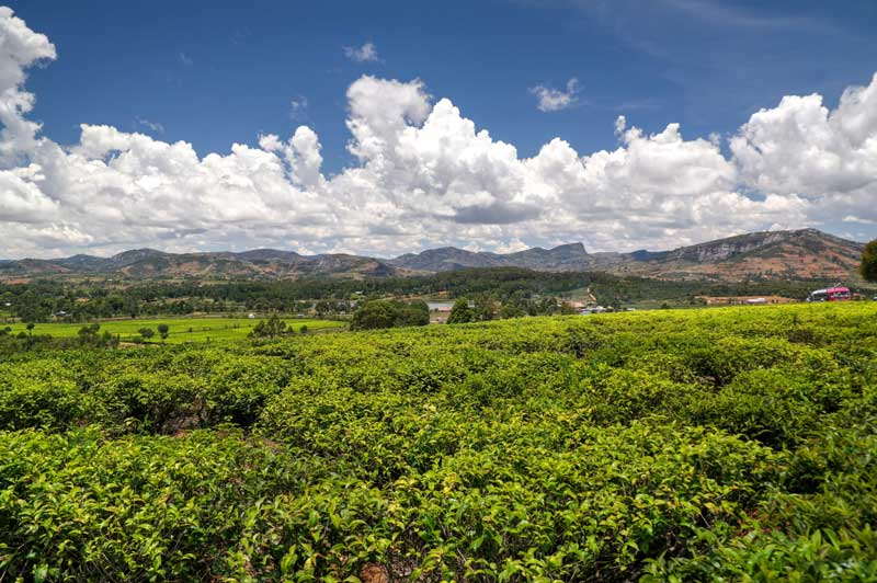Tea plantations in Sahambavy