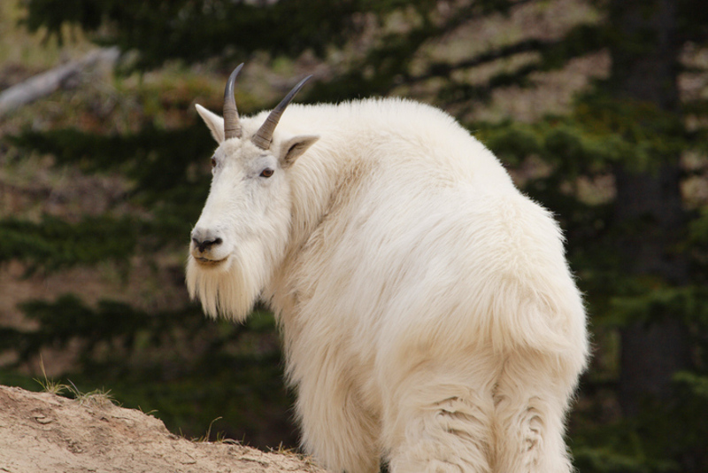 Mountain goat Canada BC