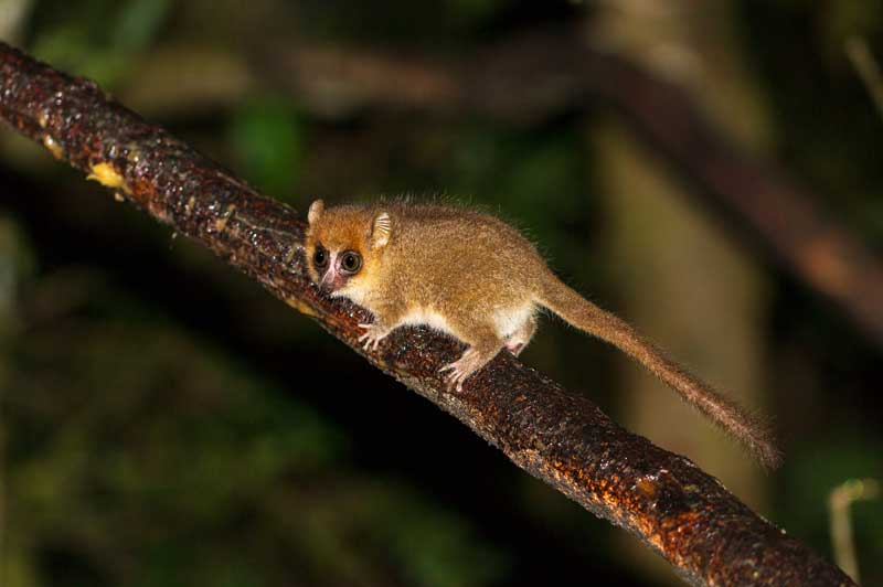 The elusive Mouse Lemur