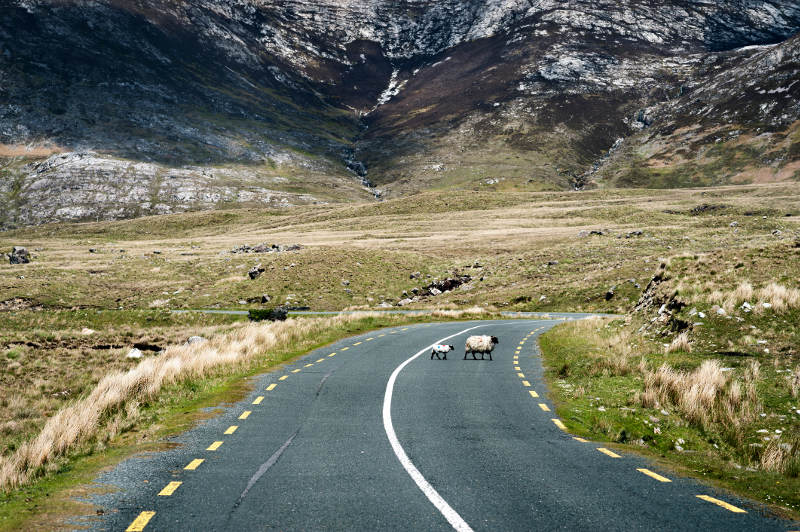 sheep on road in ireland mountain range behind