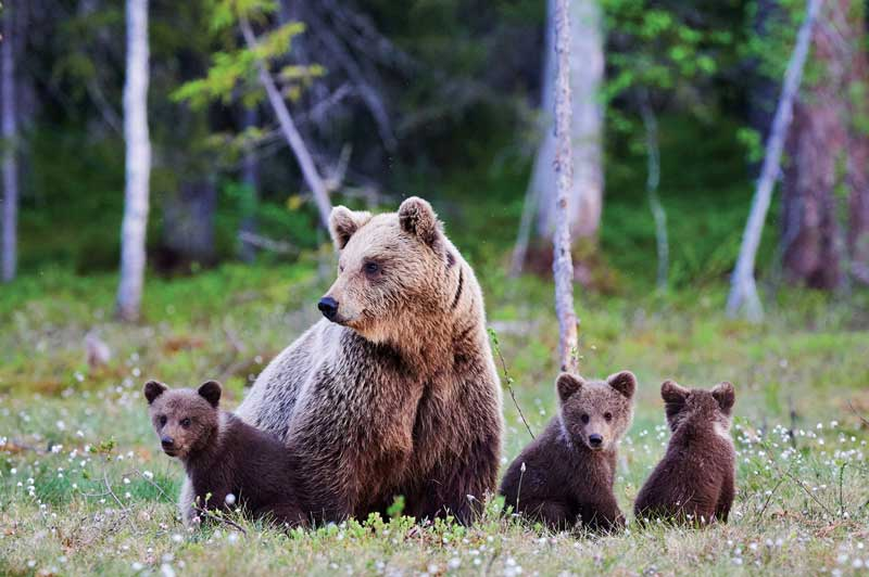 Brown Bears of Canada