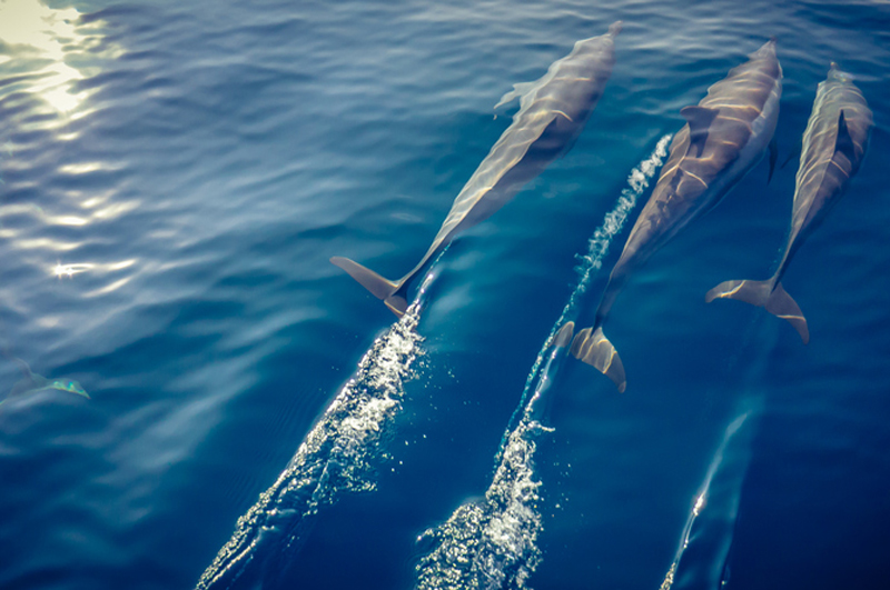 Dolphin watching on a sunset cruise