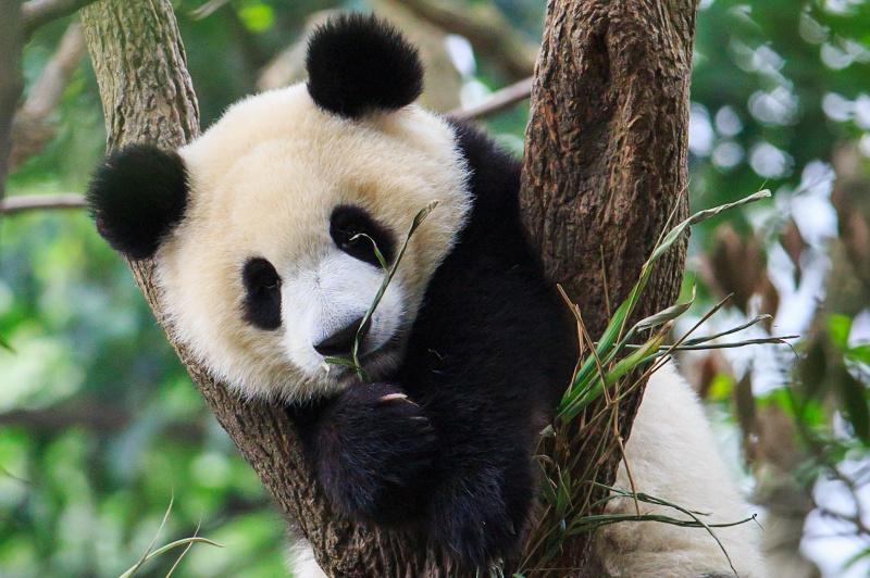 Giant Panda Cub China