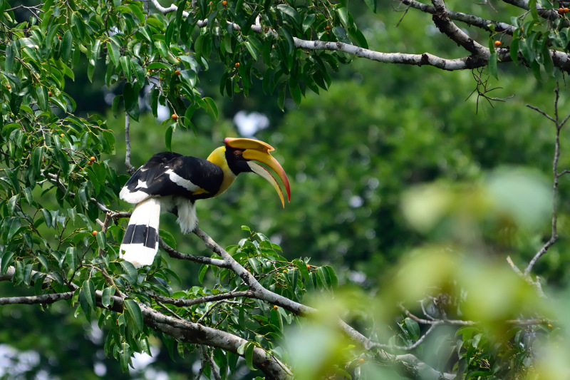 Hornbill Pangkor Laut
