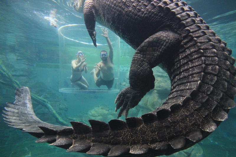 Underwater shot of people swimming with giant crocodiles at Crocosaurus Cove