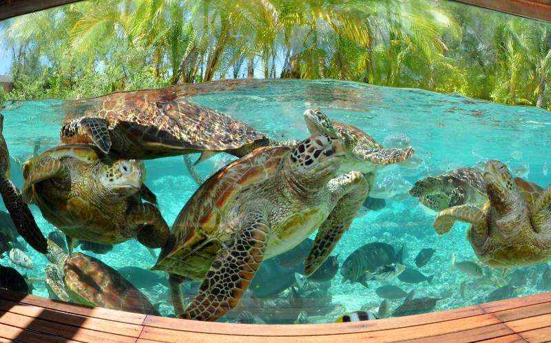 LE Meridien Bora Bora Turtle Sanctuary