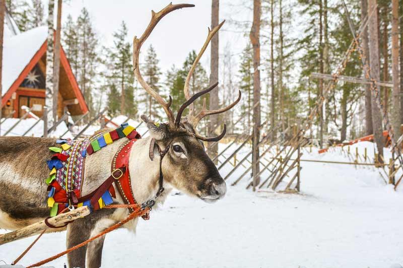 Lapland Reindeer, Finland