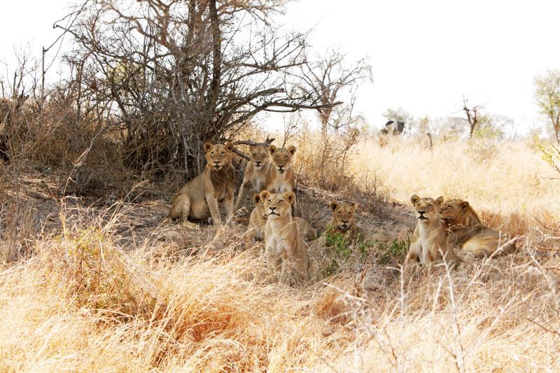 Lions in Sabi Sabi