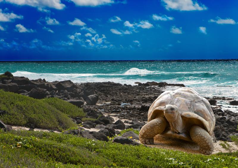 Megalochelys gigantea, Galapagos Islands