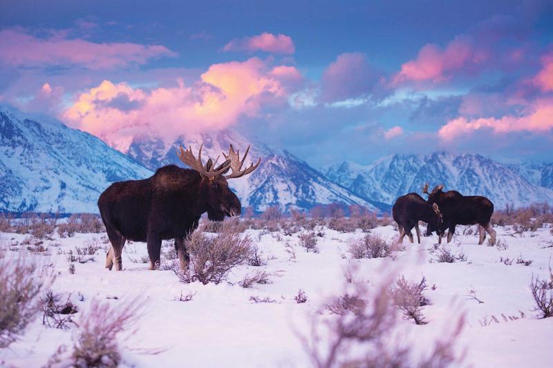 Moose in National Park America